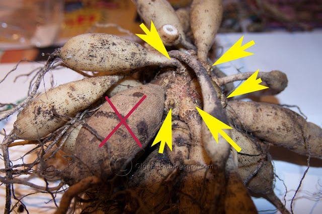 Storing Dahlia Tubers With Images Dahlias Garden Dahlia