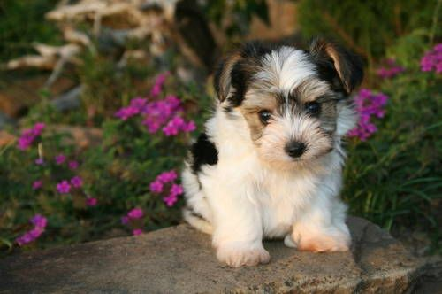 Morkie! Take one part Robin Williams ... Nah, just kidding.  Cross a purebred Yorkshire Terrier with a purebred Maltese and you have a Morkie.