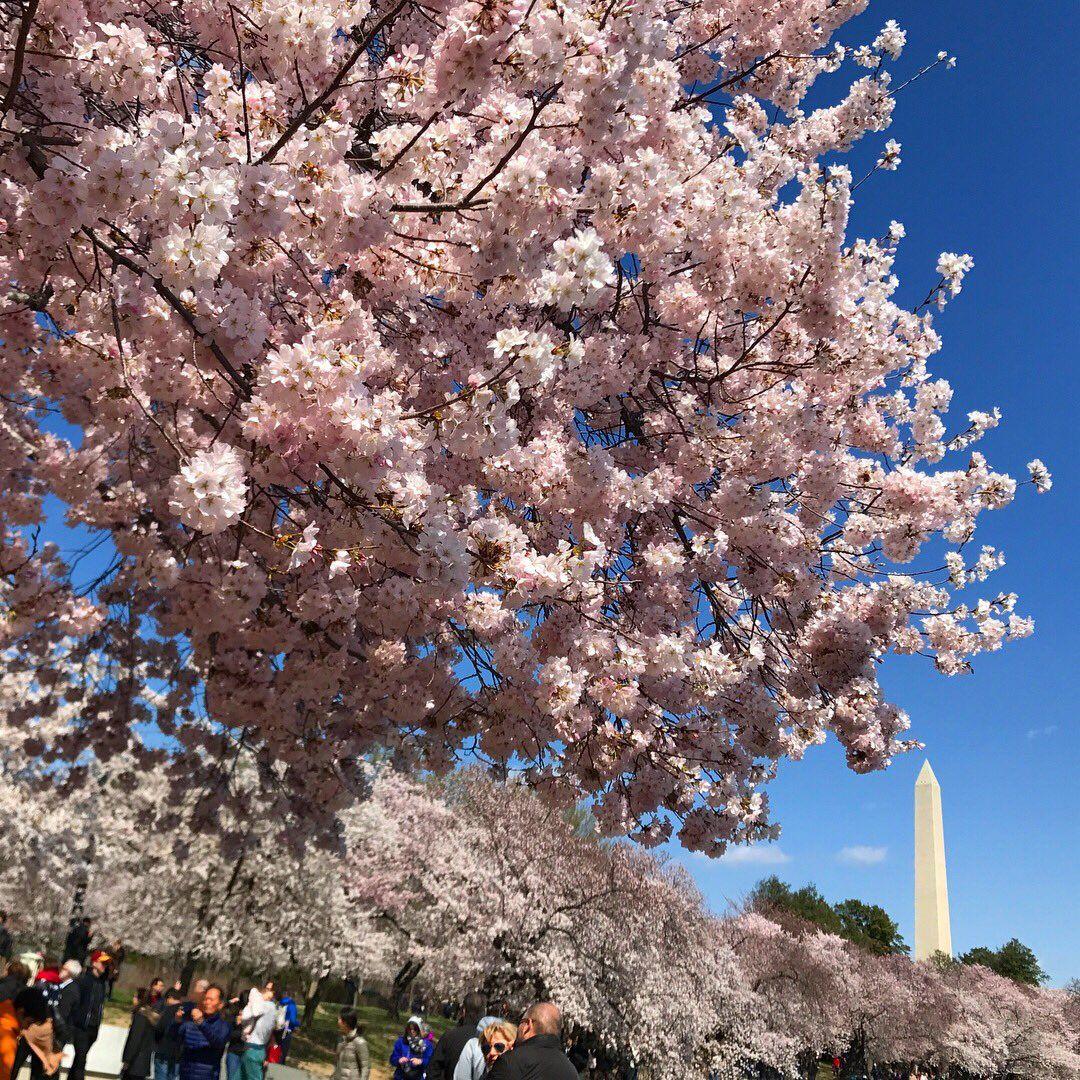 National Cherry Blossom Festival Cherryblossfest Twitter Cherry Blossom Festival Cherry Blossom Blossom