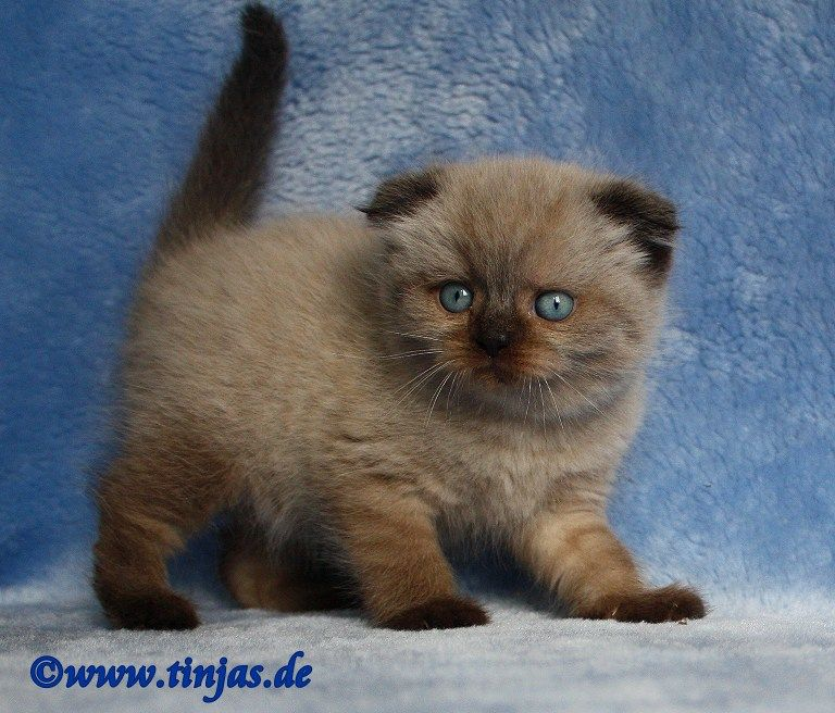 Blog Der Katzenbabys Vermittlung Der Katzenrasse Britisch Kurzhaar