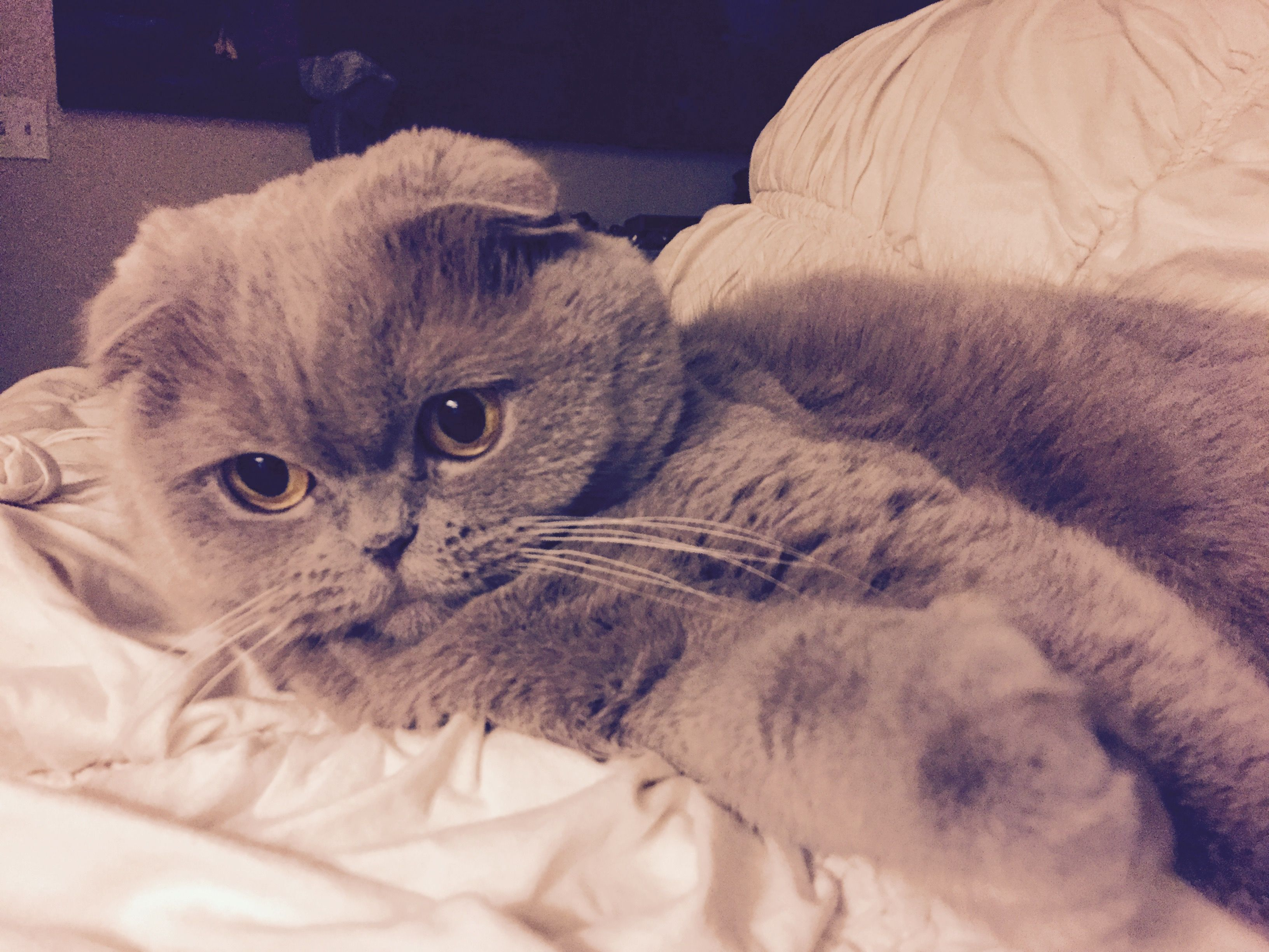 So sweet. Her name is #Rosie but her nickname is #meecheebomb #scottishfold