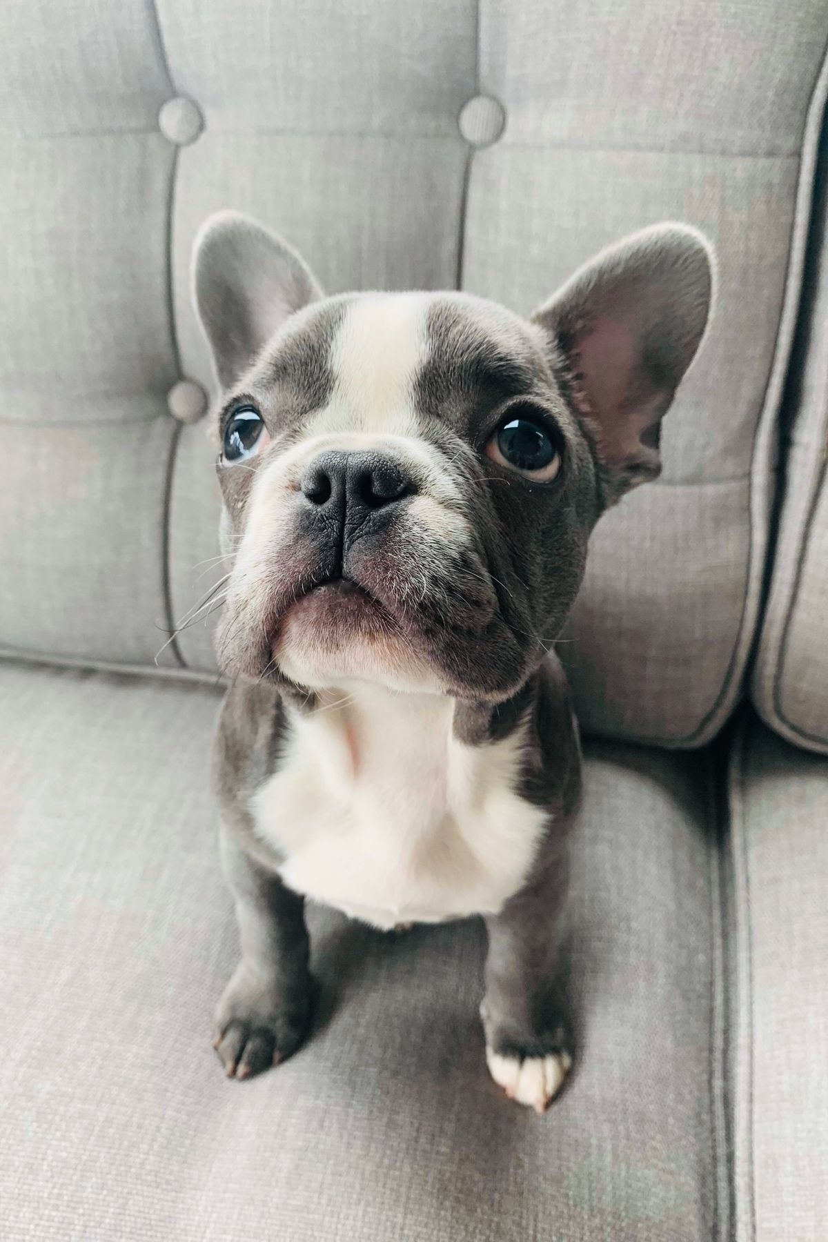 Pin on Frenchies