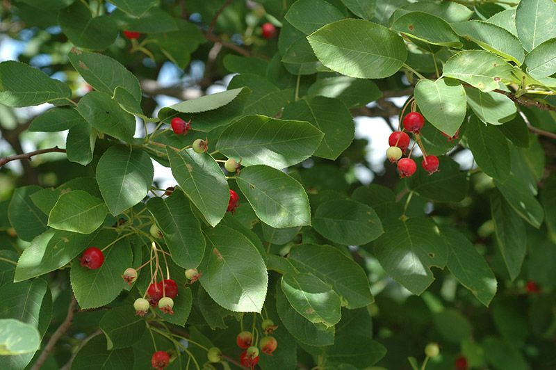 Red Berries Amongst Leaves Of Service Berries Including