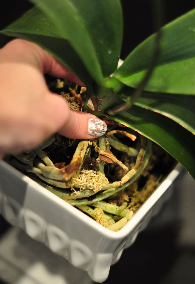 How To Replant Repot And Regrow Orchids Orchids Planting Flowers Replant