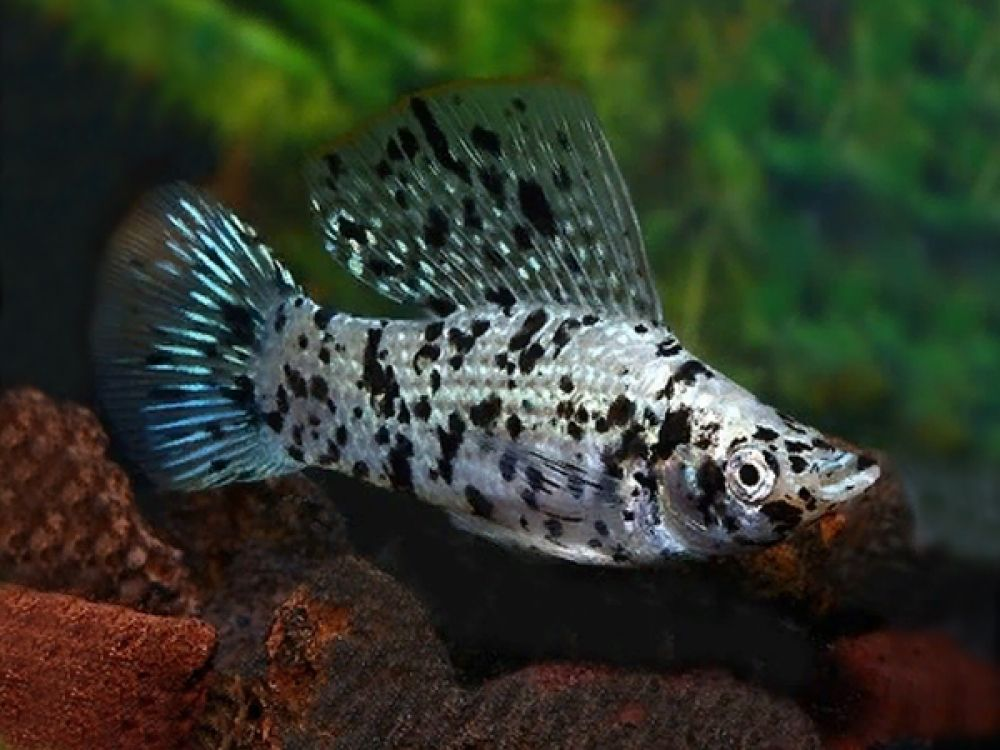 Calico Sailfin Molly Available At Https Fishplace Eu Product Calico Molly Price Starts From 0 80 Gbp Latipinna Molly Poecilia In 2020 Molly Fish Fish Fish Pet