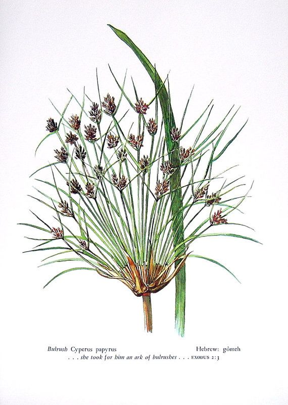 Cyperus Papyrus Papyrus