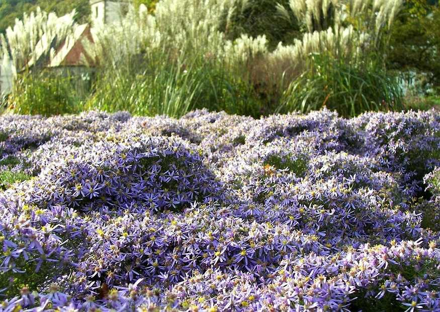 Aster sedifolius nanus mixed ornamental grasses for Planting schemes with grasses