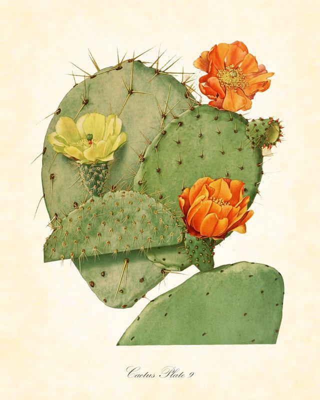 Vintage Botanical Art Print Flowering Cactus Series 2 Plate 9 Art Print 8 x 10. $10.00, via Etsy.