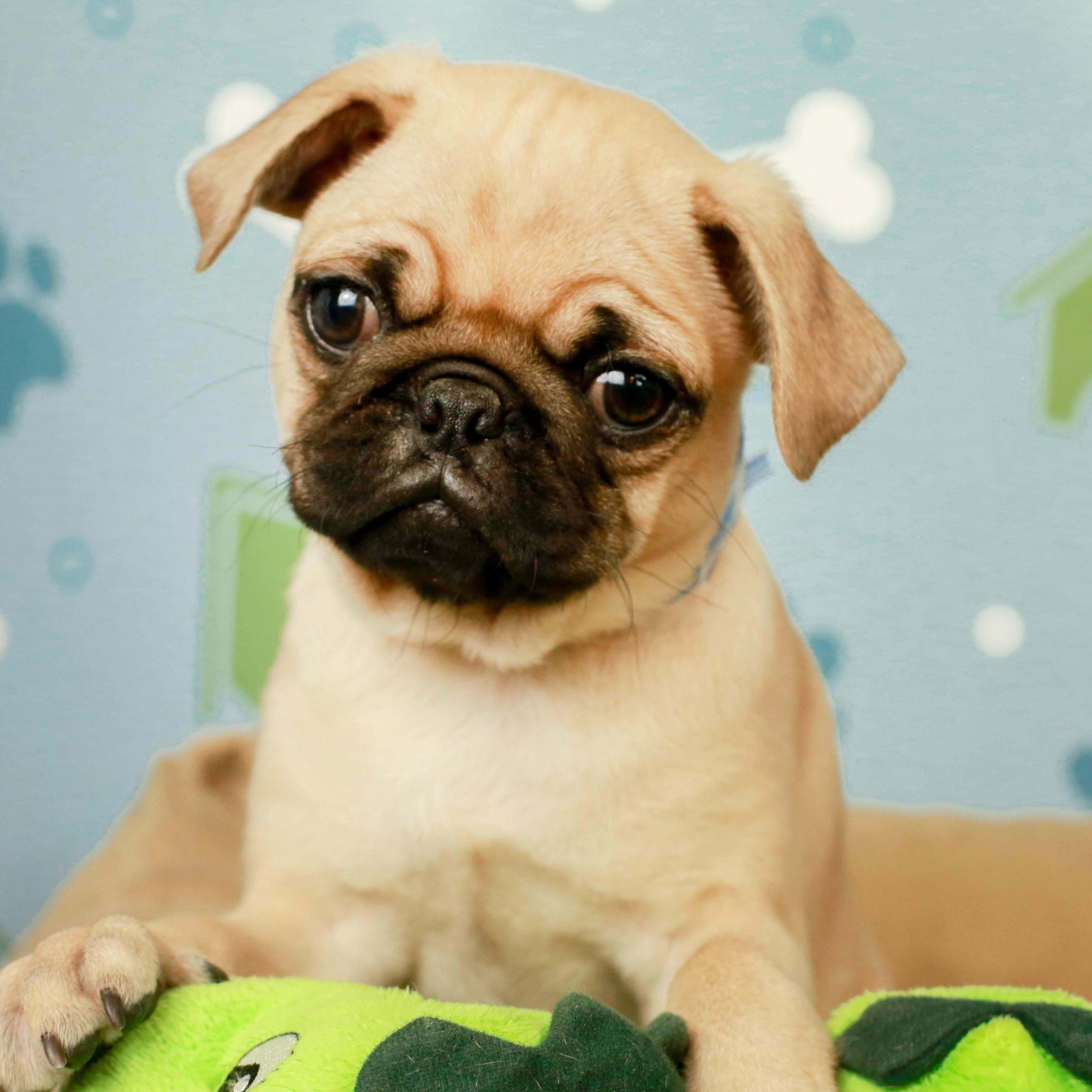 Puppy Store Image By Puppies N Love On Our Puppies In 2020