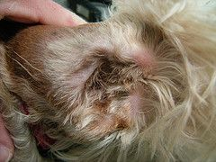 Plucking Dog Ear Hair Cleaning Dogs Ears Schnauzer Grooming Labradoodle Ears
