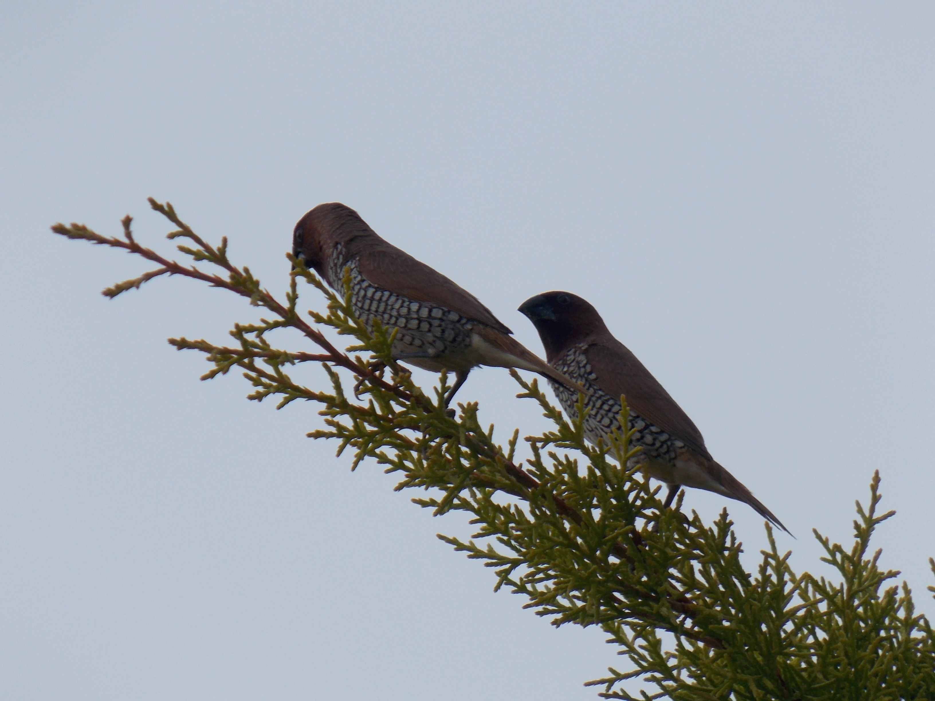 Pair Of Munias In Bangalore Snap Taken By My 8 Yr Old Son Animals Photographer Olds