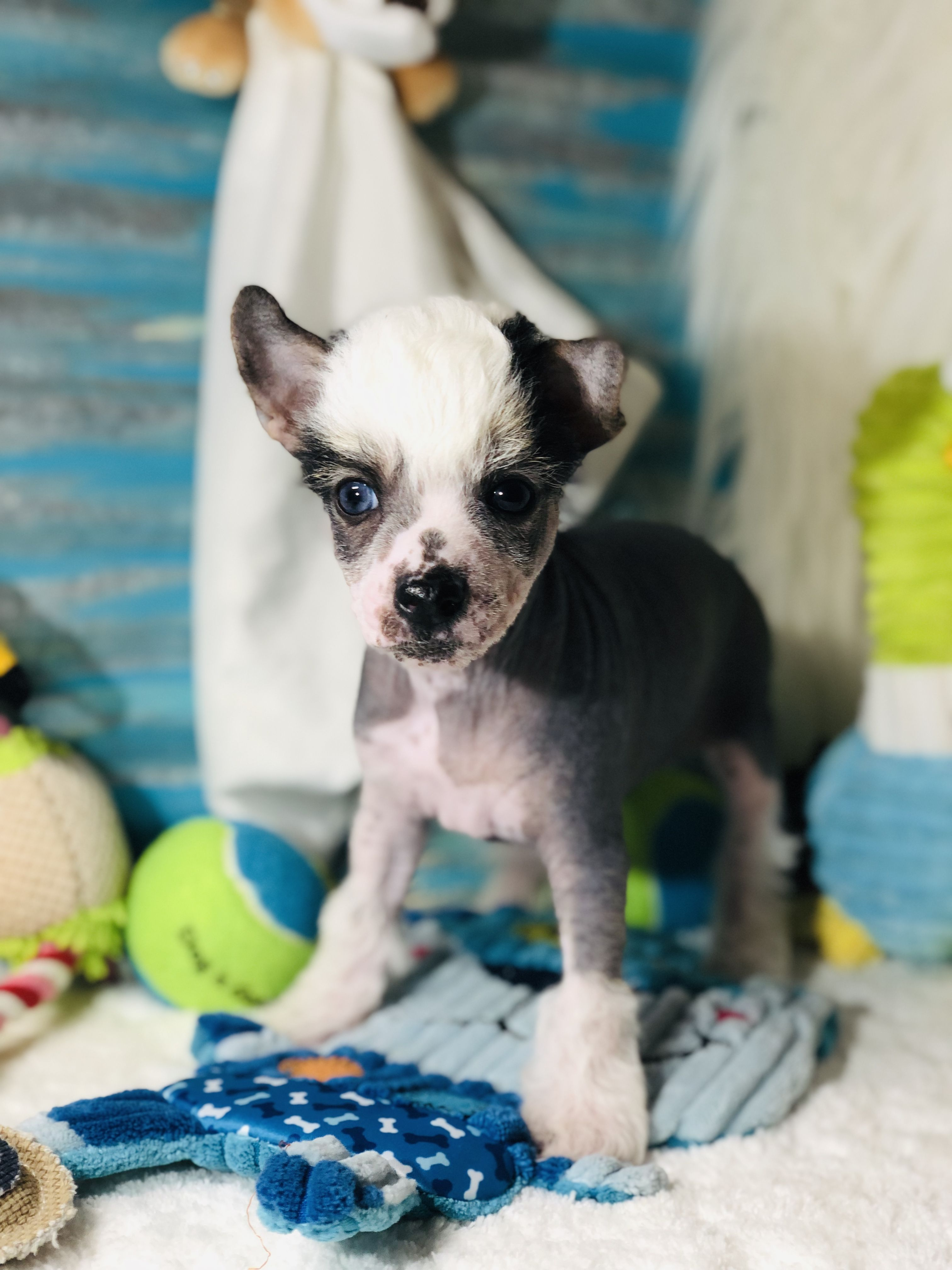 Chinese crested, French