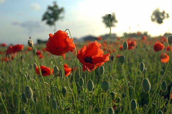 Celebrating Armistice Day 'In Flanders Fields'
