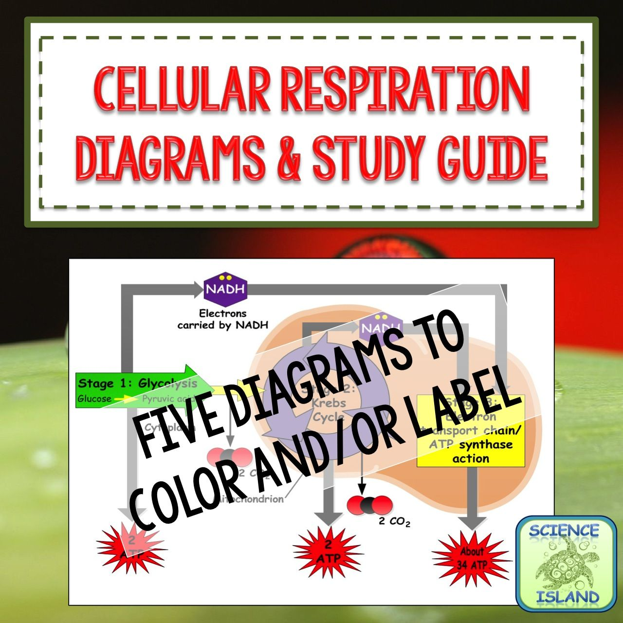 Cellular respiration diagrams and study guide teaching biology cellular respiration diagrams and study guide pooptronica