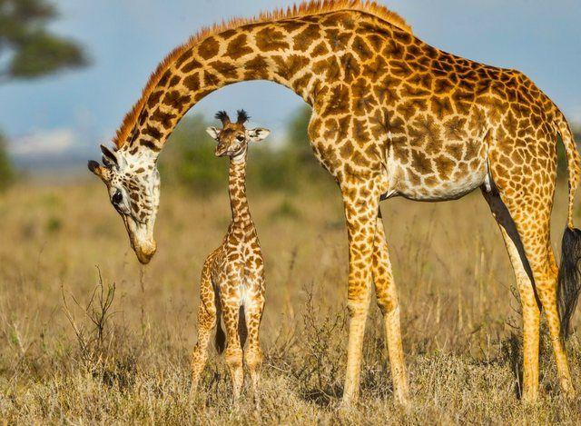 Fototapete »Masai Giraffe Protecting Baby«, glatt