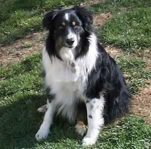 Aussies are the best, most active, smarty pants pooches you can find.