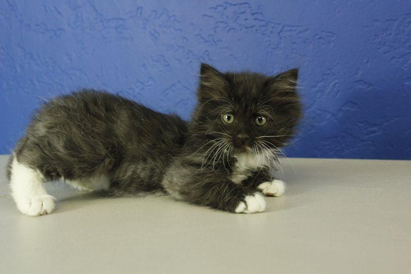 Black Tuxedo Mitted Solid Ragdoll Kitten Munchkincat Munchkin Cat Baby Animals Puppies And Kitties