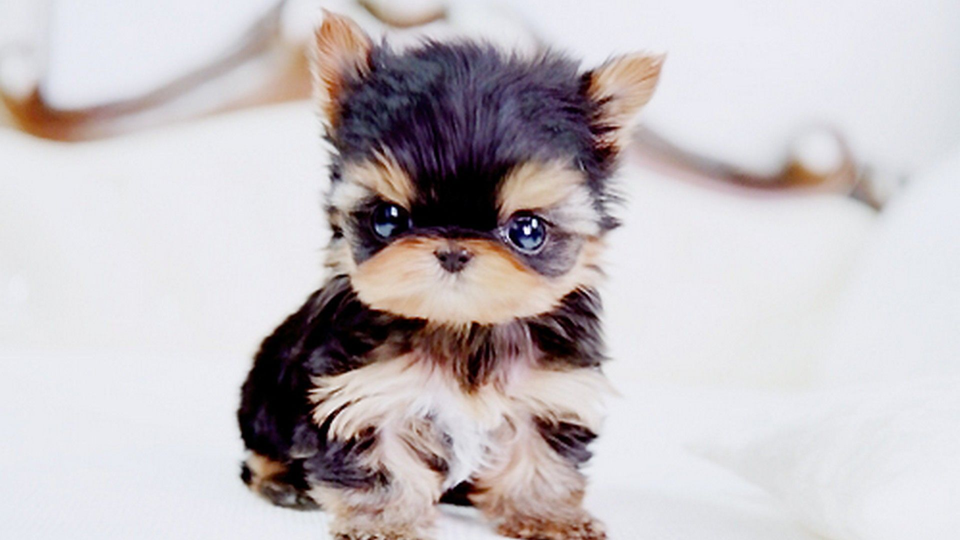 Puppy Wallpaper For Desktop Cute Tiny Dogs Cute Animals Teacup