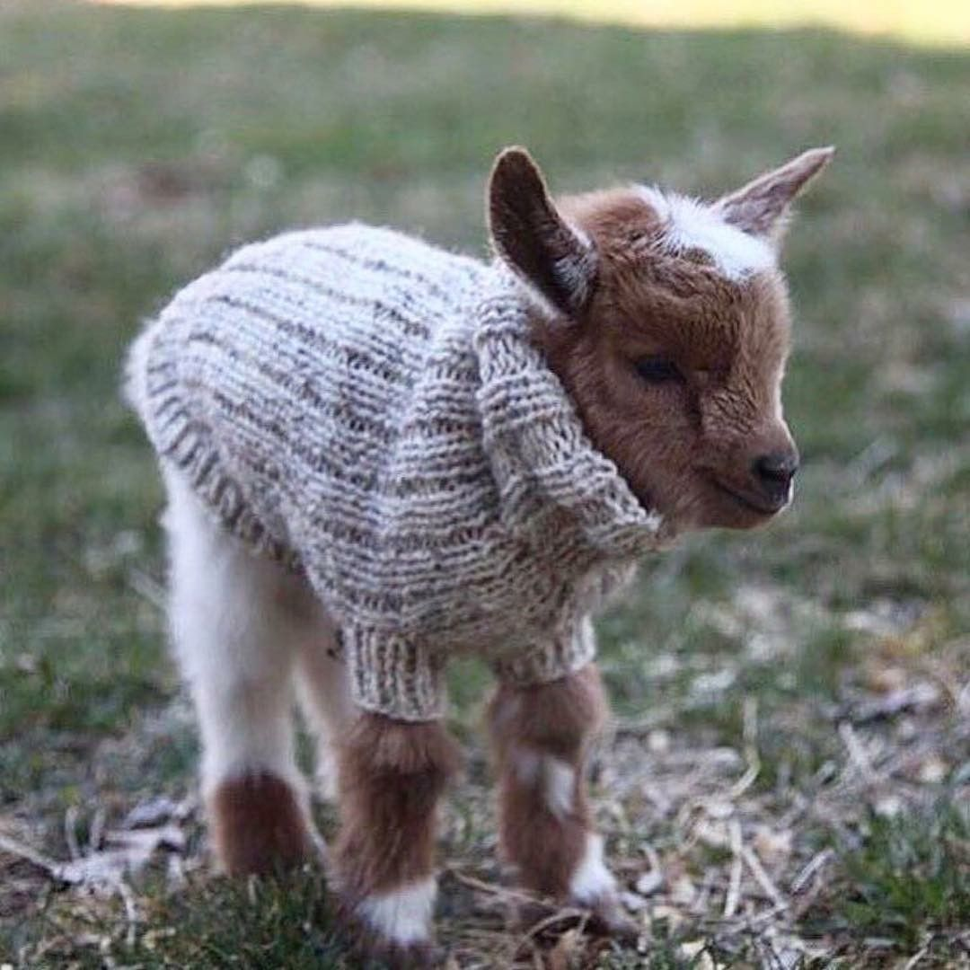 It S A Baby Goat In A Sweater Cute Goats Cute Animals