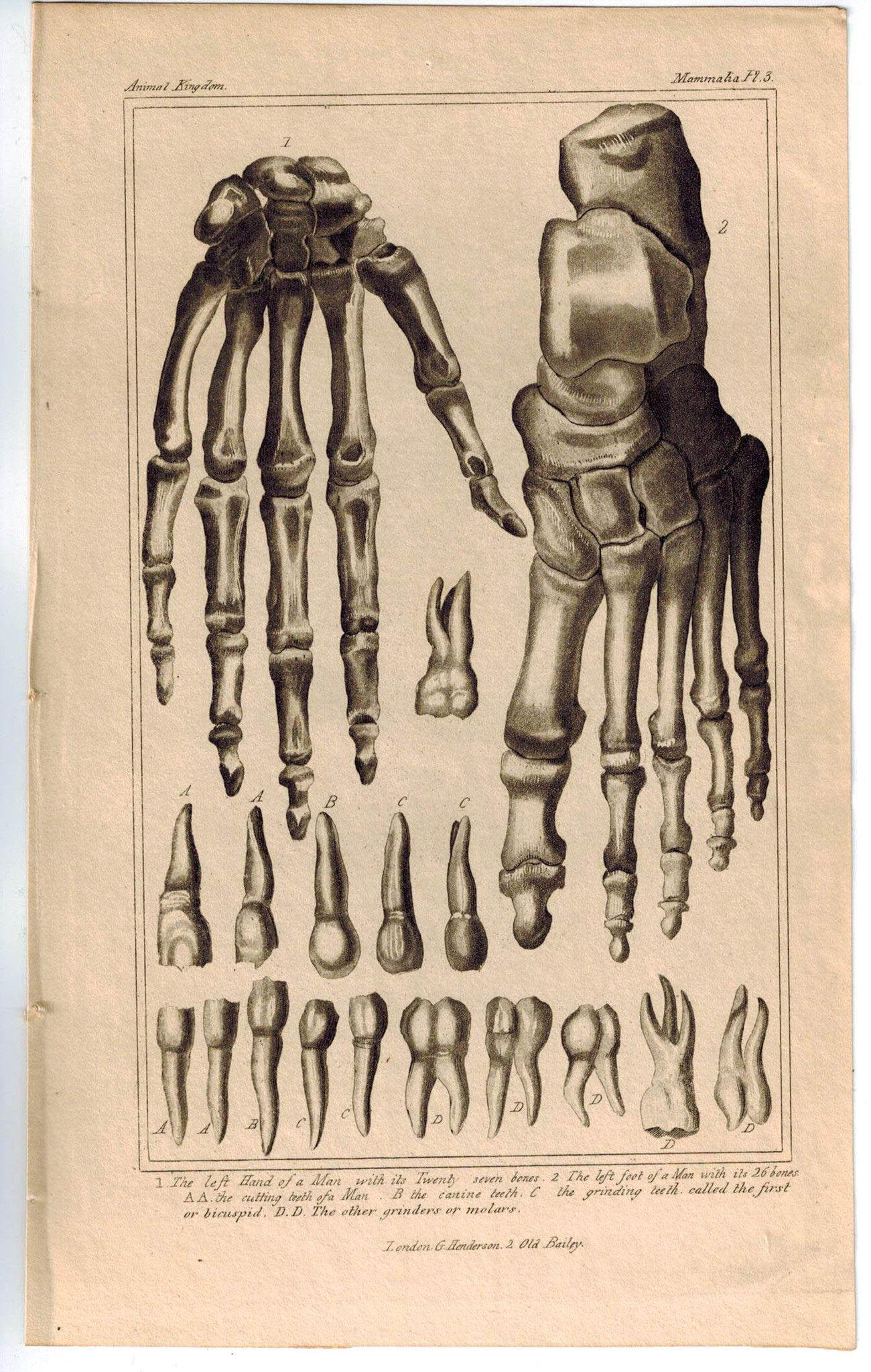 Anatomy Of Bones Hand Feet Teeth Skeleton 1837 Antique Engraved