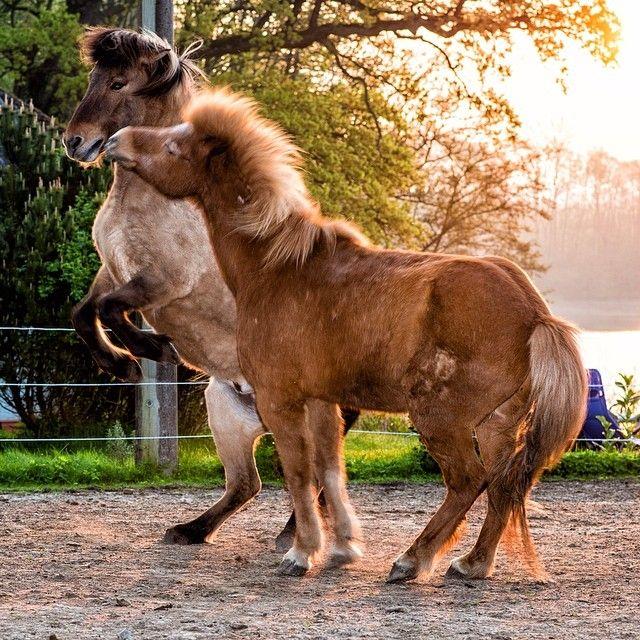 Islandpferde Beim Spielen Am Morgen Islandpferde Pferd Und