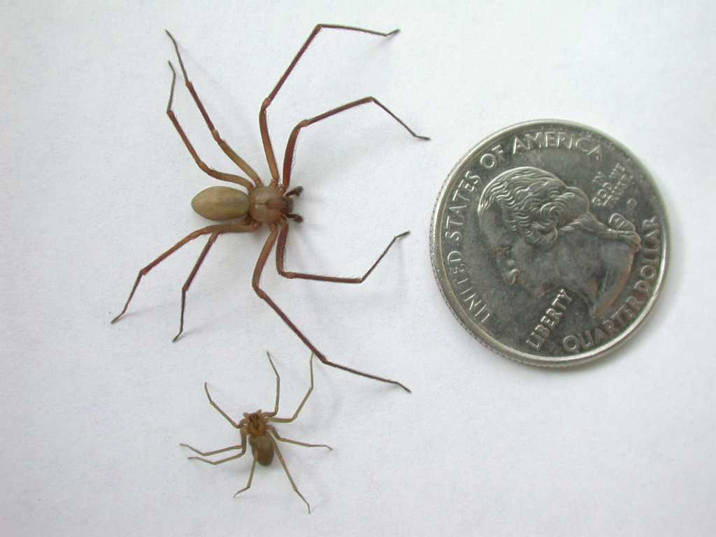 brown recluse | brown recluse spider juvenile brown recluses will be ...