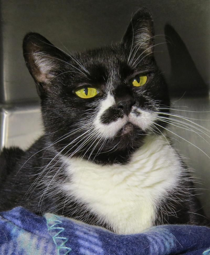 Adopt 5464 Prance on Dancing cat, Animal shelter, Cat