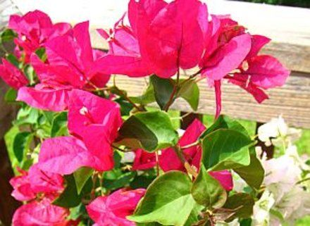 How to Grow Bougainvillea in Pots | Garden Guides