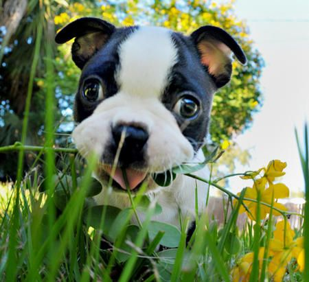 Aww Reminds Me Of The Time Henry Brought Me A Plant When I Came Home With Images Boston Terrier Boston Terrier Love Funny Animals