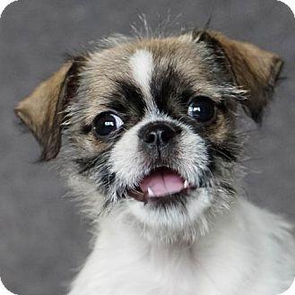 Asheville Nc Pug Terrier Unknown Type Medium Mix Meet Anna