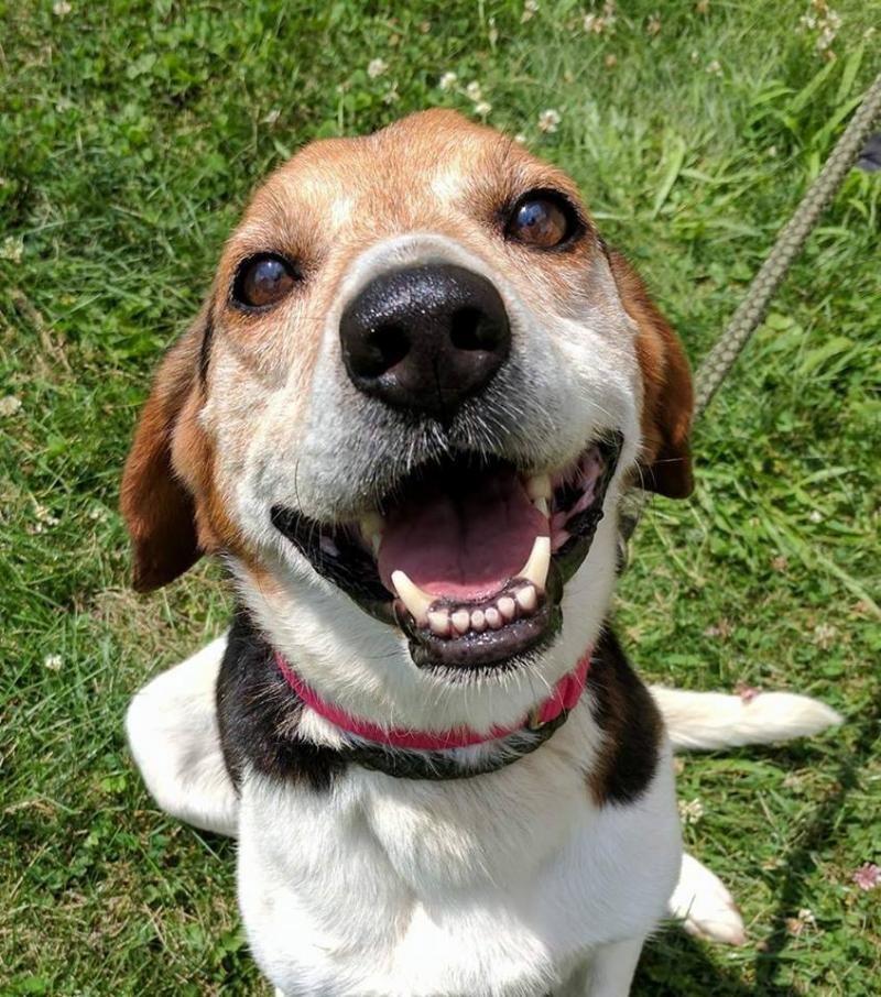 Adopt Malachi Sponsored On Adoptable Beagles Adoptable Beagle