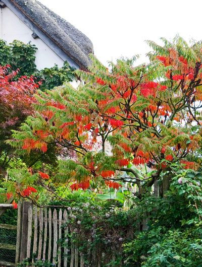 Kleine Bomen Voor In De Tuin.Bomen Voor Een Kleine Tuin Fluweelboom Rhus Typhina Tuin