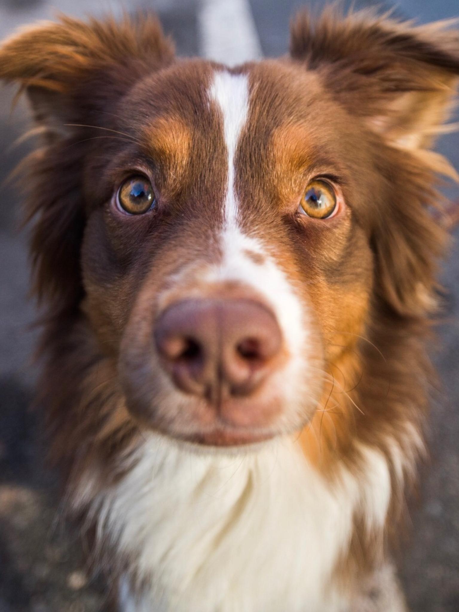 Australian Shepherd Smart Working Dog Chiot Chien Chat