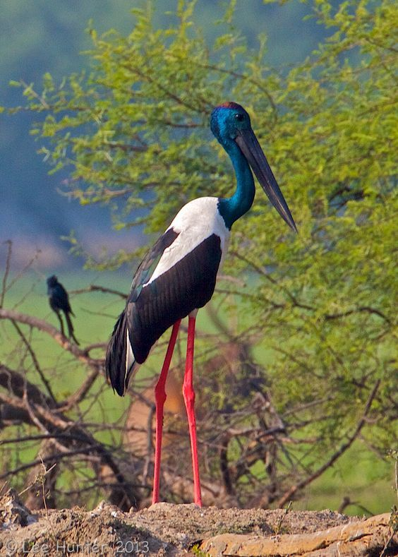 El jabirú asiático (Ephippiorhynchus asiaticus)  Esta cigüeña es natural de Asia y Oceanía. La distribución de esta ave se extiende desde la India hasta Australia.