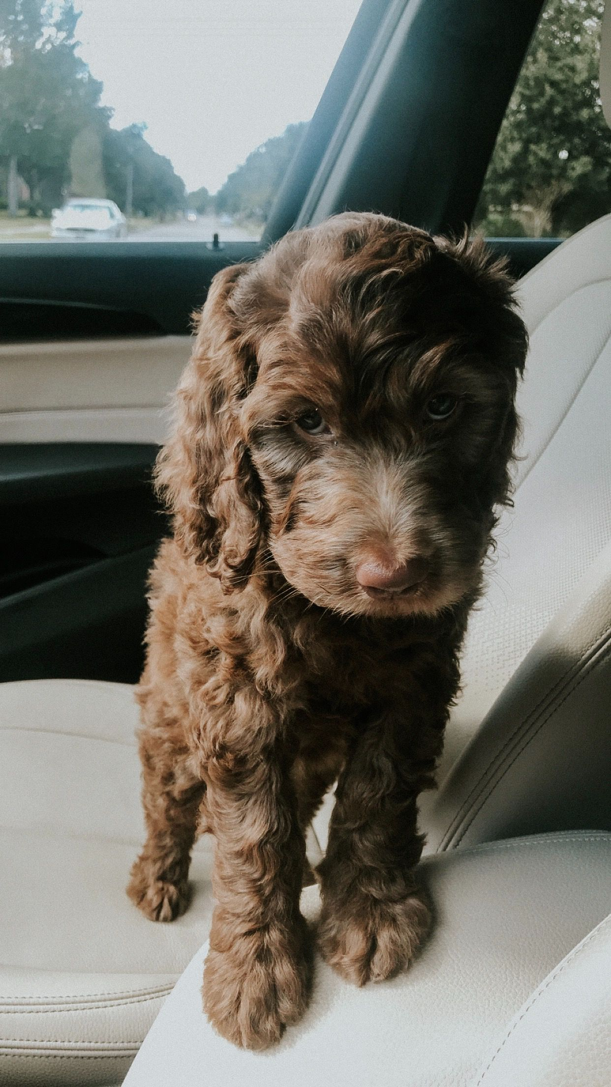 This Is My Puppy Ella Shes A Dark Brown Golden Doodle And A