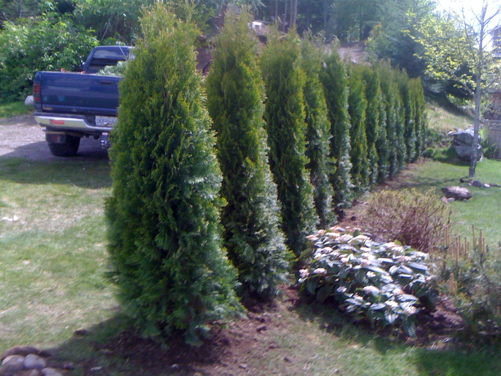 This Is What Your Cedar Hedge Will Look Like The First