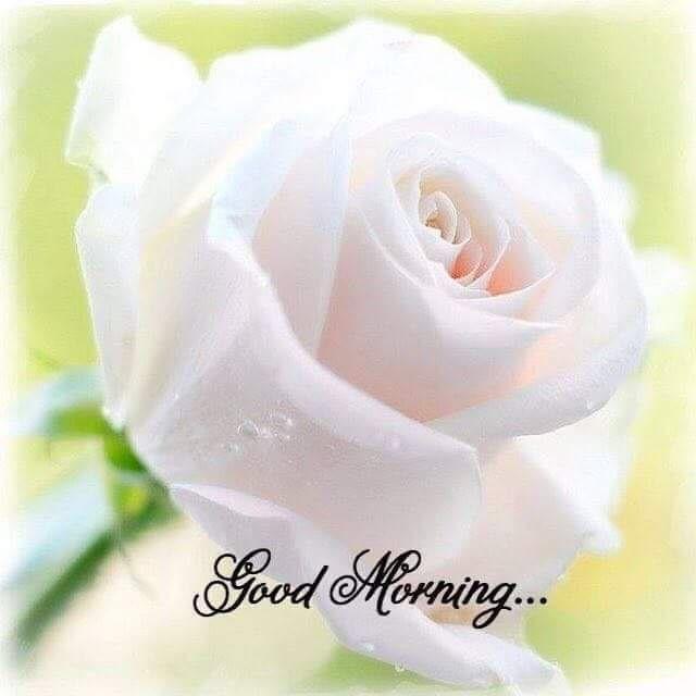 Good Morning Good Morning Flowers White Rose Flower Flowers