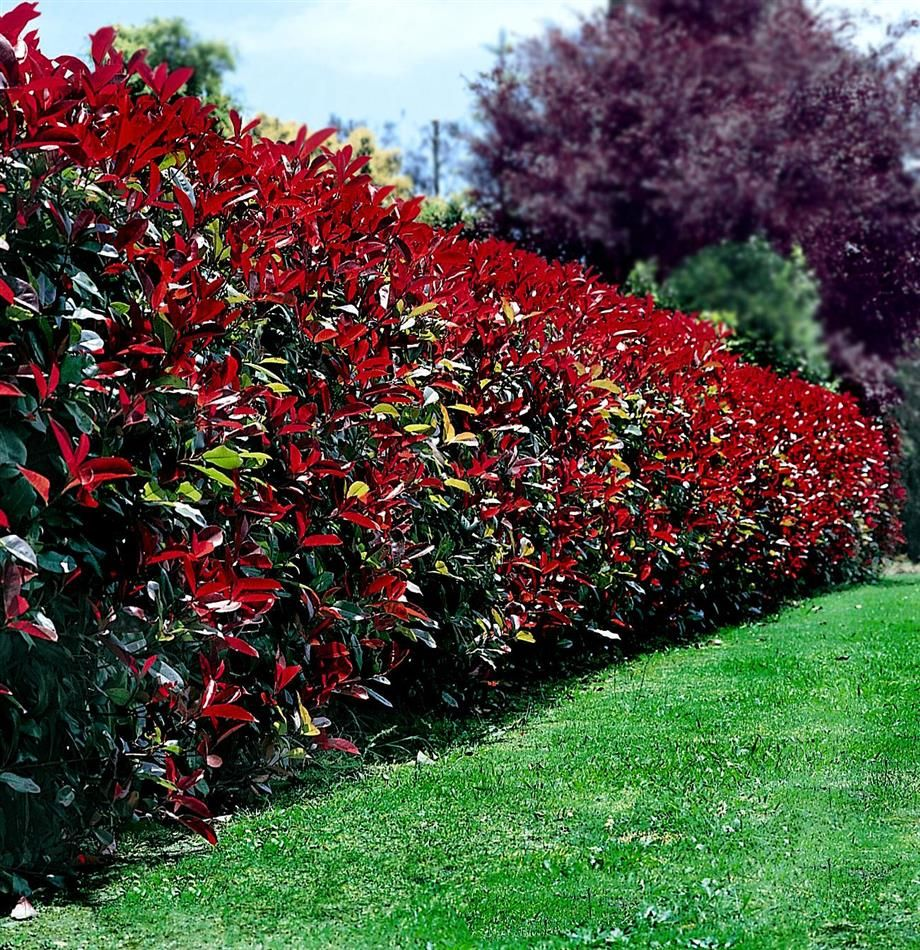 Photinia Red Robin Hedge My Plants Garden Hedges Red