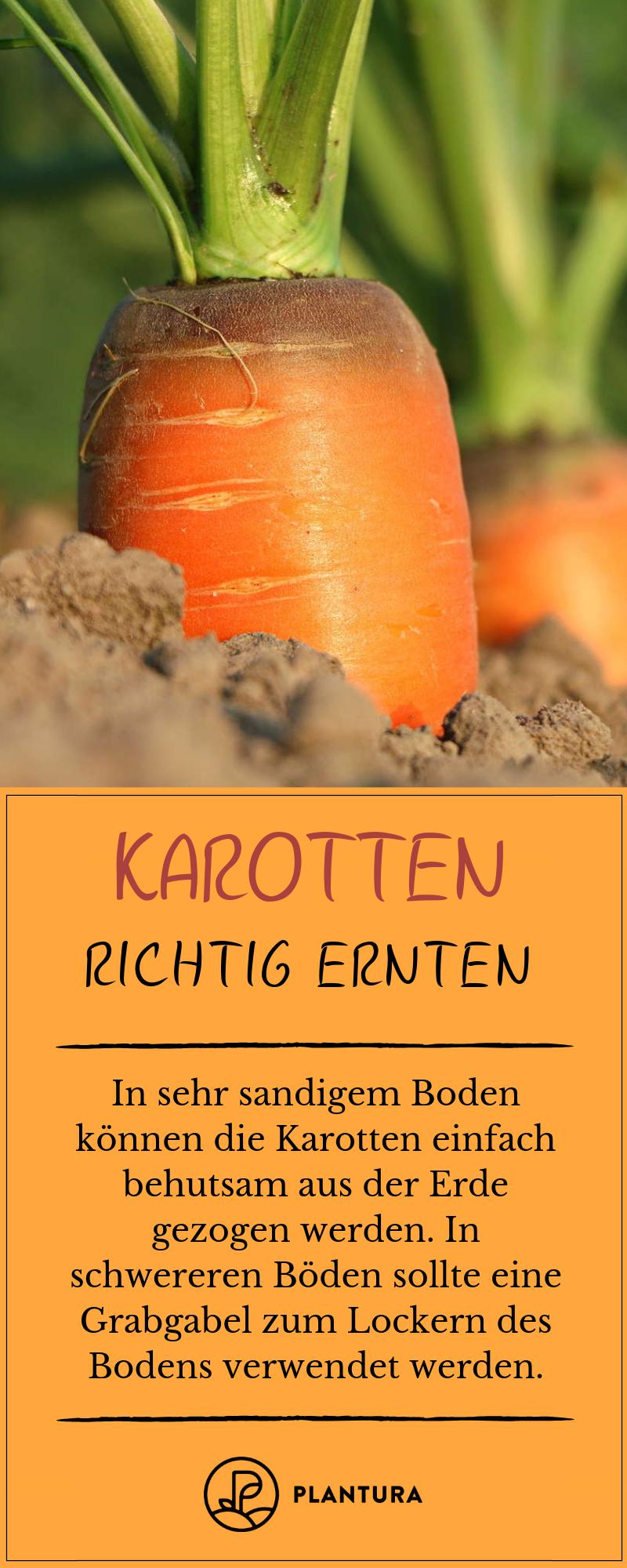 Karotten ernten & lagern   Plantura   Garten pflanzen, Karotten ...
