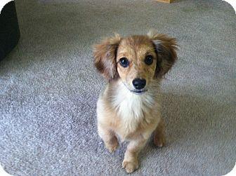 Dachshund Pomeranian Mix Pomeranian Mix Puppies Puppies Gorgeous Dogs Breeds