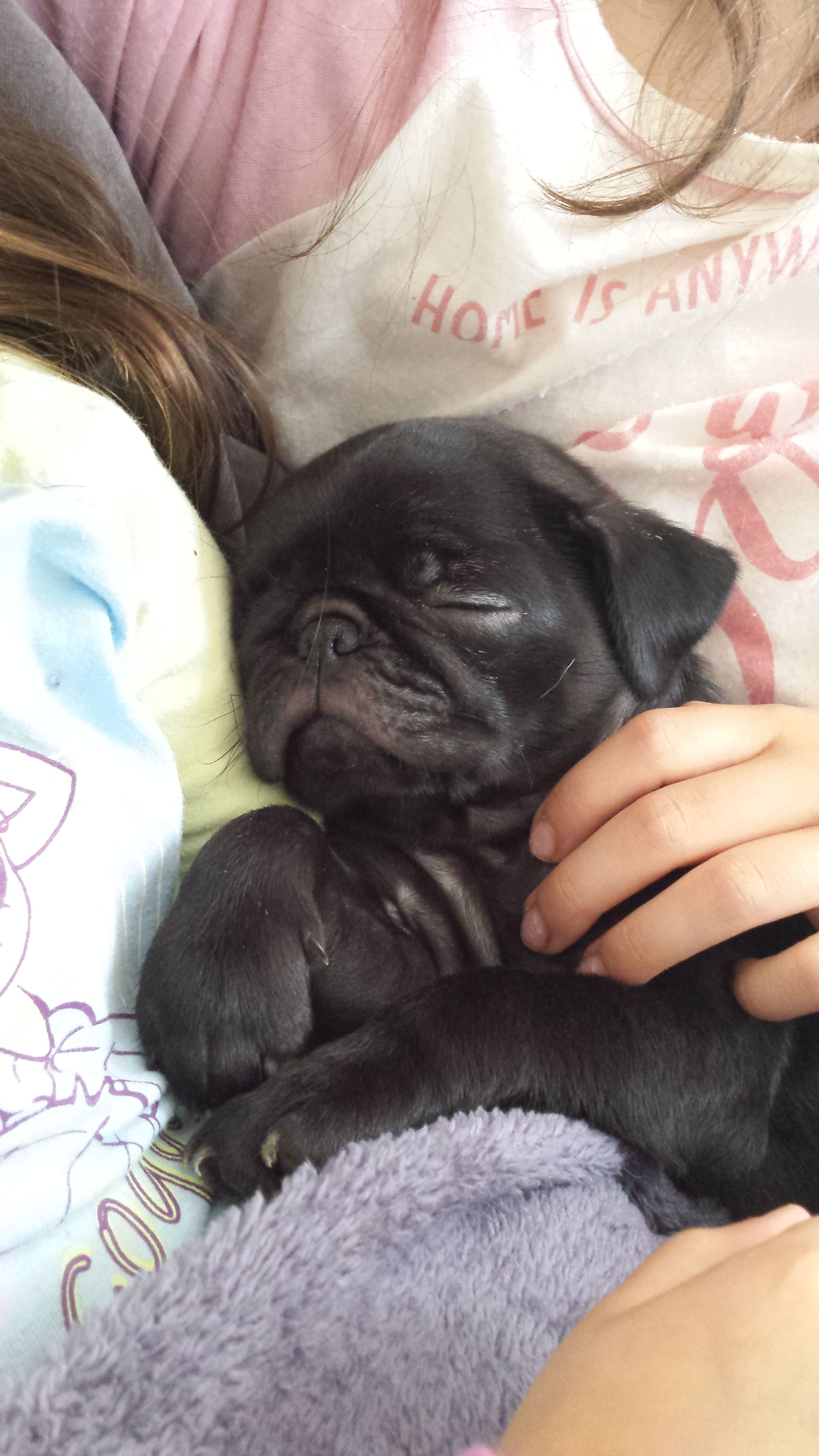 Adorable Baby Baby Pugs Cute Pugs Pug Puppies