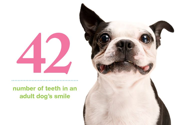 Pup Quiz How Many Teeth Do Adult Dogs Have Adult Dogs Dogs Pets