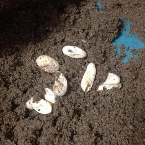 Female Bearded Dragon Lays Eggs