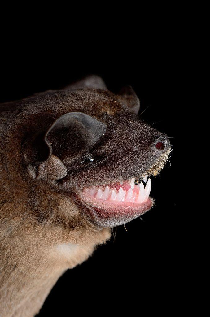 17++ Sea bat info