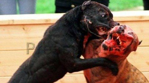 Spain. Withdraw the Chapter BLACK MARKET illegal gambling program that shows cruelty training and dealing with dogs to the business of dog fighting.