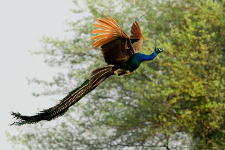 Theyre Beautiful On The Ground But When They Take Flight - Flying peacocks look like mythical creatures