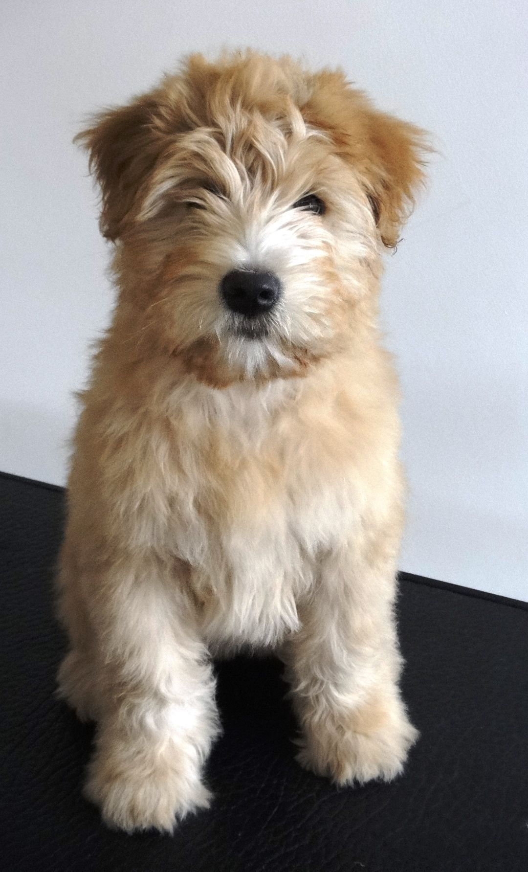 Winnie The Wheaten Terrier Her First Bath At 3 Months Old Wheaten Terrier Puppy Cute Dogs Cute Animals