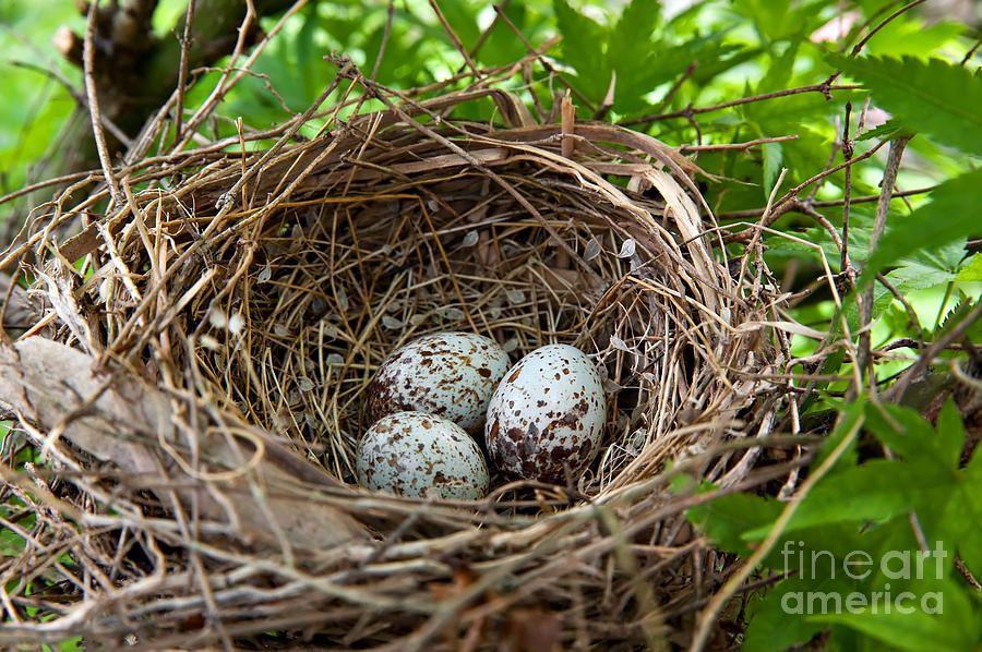 Cardinal bird eggs in a nest by anne kitzman with images
