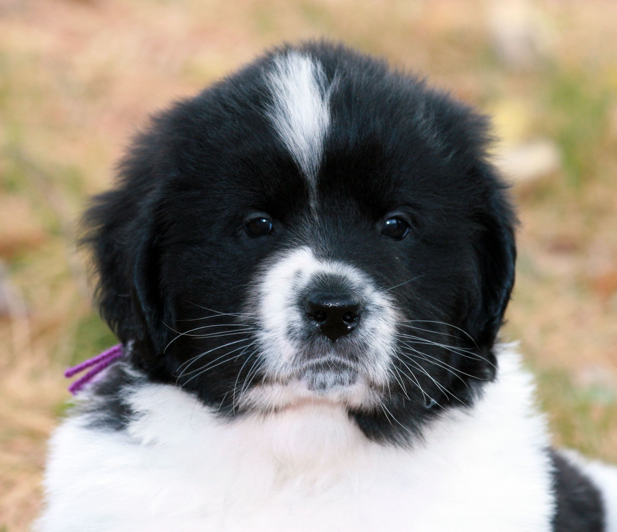 Pin By Jemma Danielle Images On Dogs Dogs Dogs Newfoundland Dog Puppy Newfoundland Puppies Cute Animals