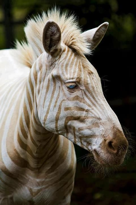 Born on the island of Molokai, Hawaii, USA, Zoe is the only known captive white (golden) Zebra in existence. Gorgeous !!! — with Joshua Yarbrough.